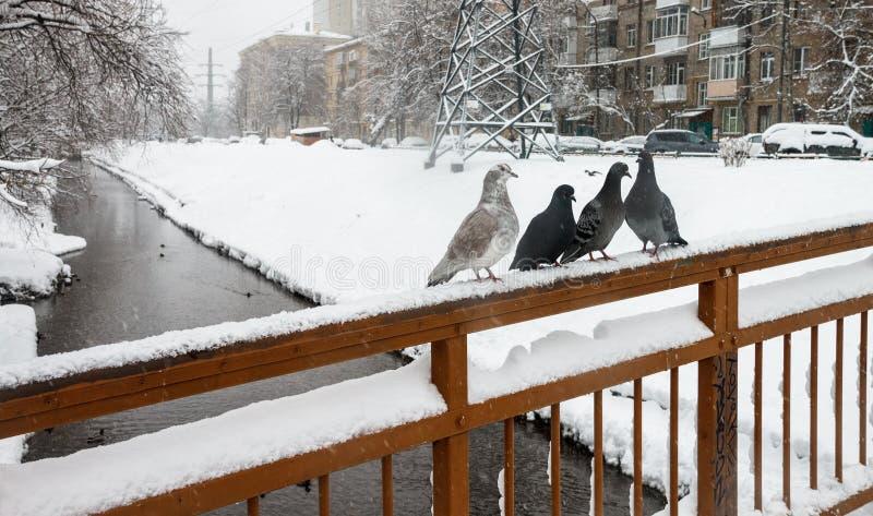 En flock av duvor i vintern arkivfoton