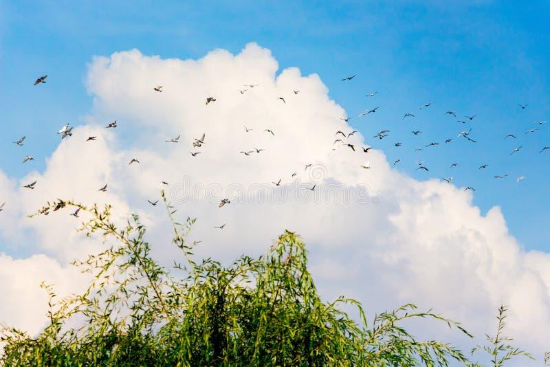 En flock av duvor mot ett vitt moln i den blåa himlen Duvor i flight_ fotografering för bildbyråer