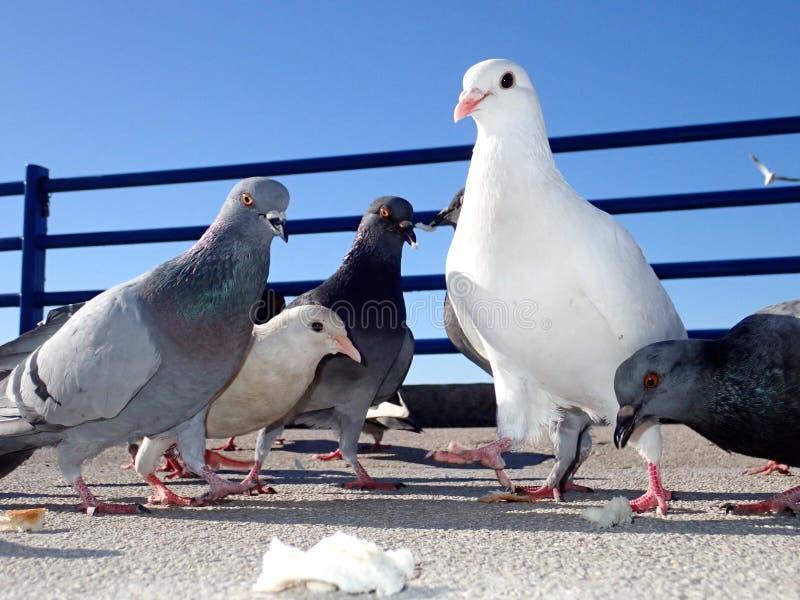 En flock av duvor på asfalten på gatan royaltyfri foto