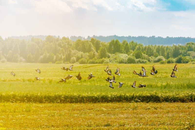 En flock av duvor som flyger i den blåa himlen bland molnen och solljuset, begreppet av frihet royaltyfri bild