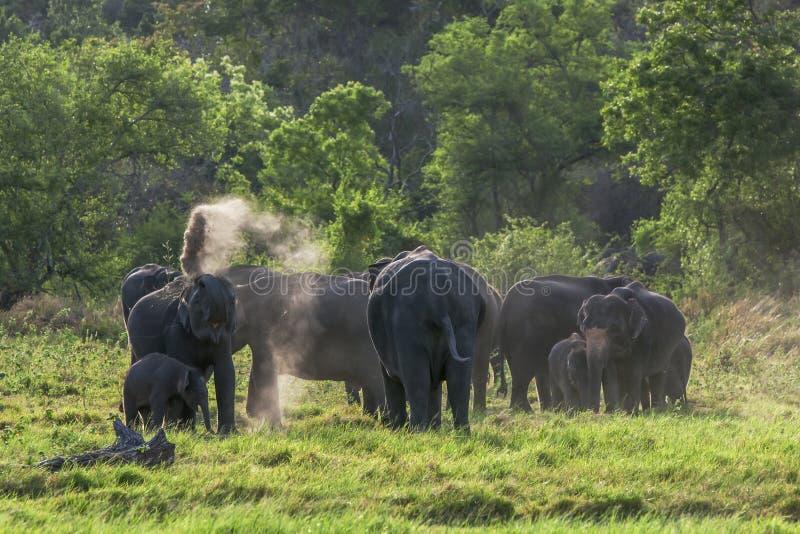En flock av elefanter i Sri Lanka arkivfoton