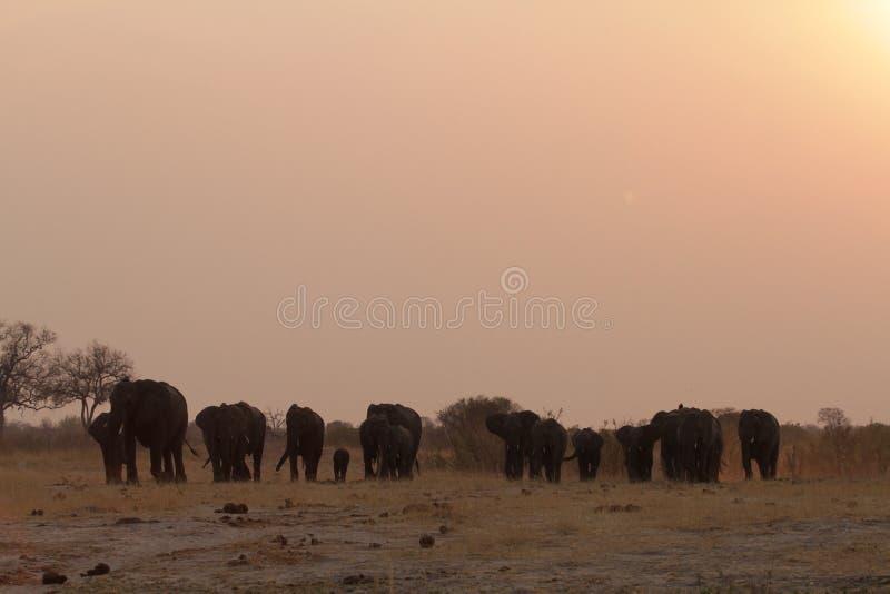 En flock av elefanter på solnedgången royaltyfria bilder