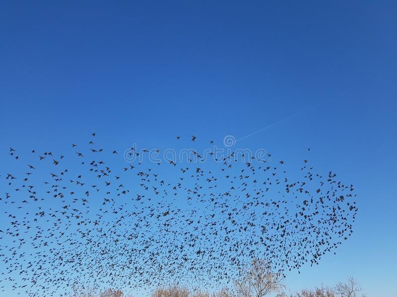 En flock av fåglar i form av ett moln arkivfoto