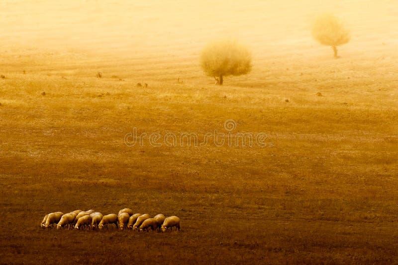 En flock av får royaltyfri foto