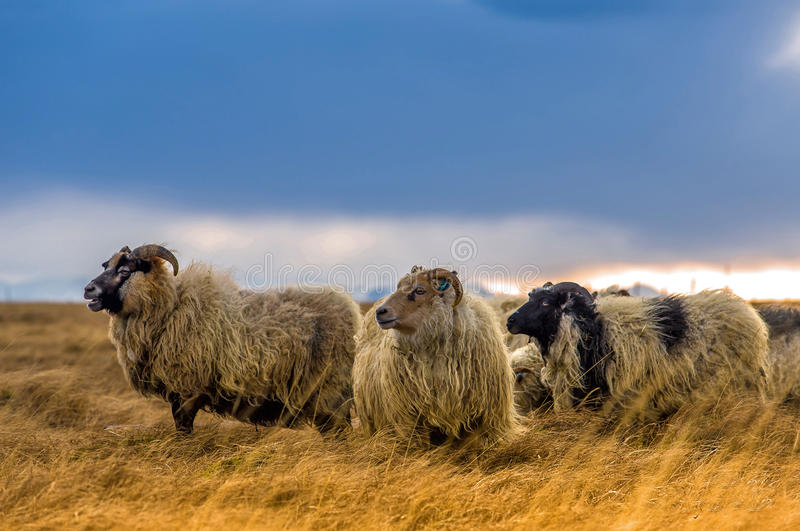 En flock av får i ett fält royaltyfria bilder