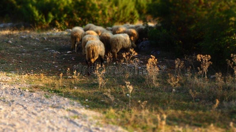 En flock av får i landet royaltyfri bild
