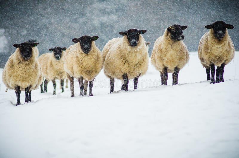En flock av får i snön arkivbilder
