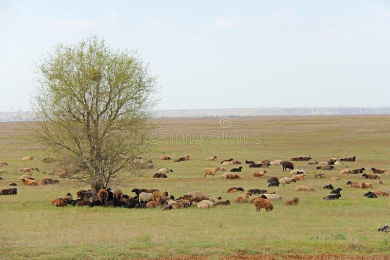 En flock av får och får som betar i ett grönt fält arkivbilder