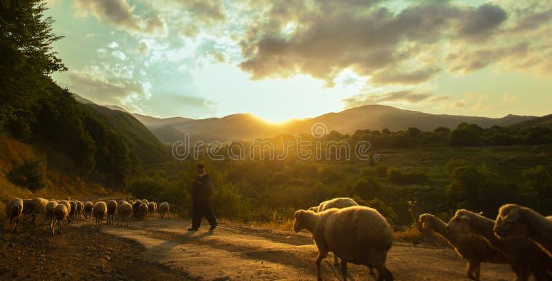 En flock av får på vägen vid solnedgång, Armenien arkivfoton