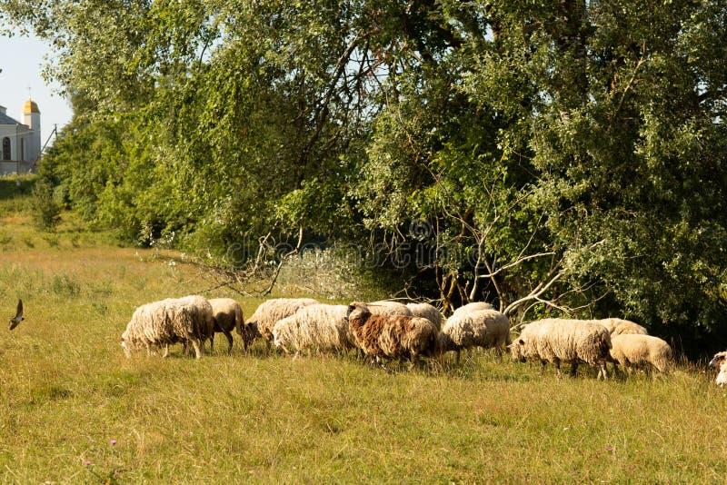 En flock av får som betar i bygden fotografering för bildbyråer