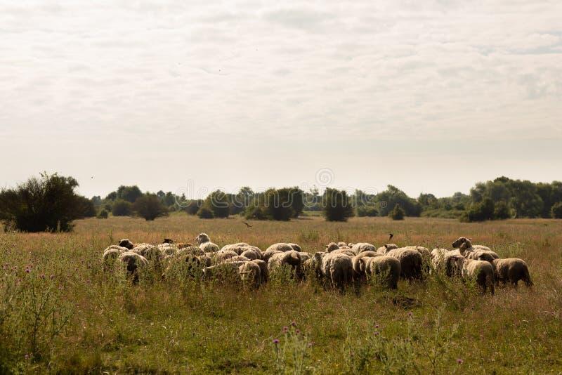 En flock av får som betar i bygden royaltyfria bilder