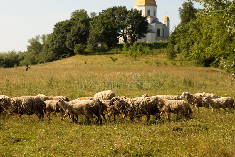 En flock av får som betar i bygden Bak dem på kullen är en kyrka royaltyfri bild