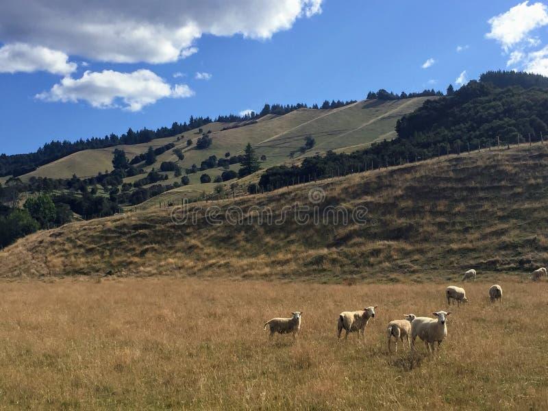 En flock av får som in betar, betar på älskvärda sommars dag förutom Motupiko royaltyfri bild