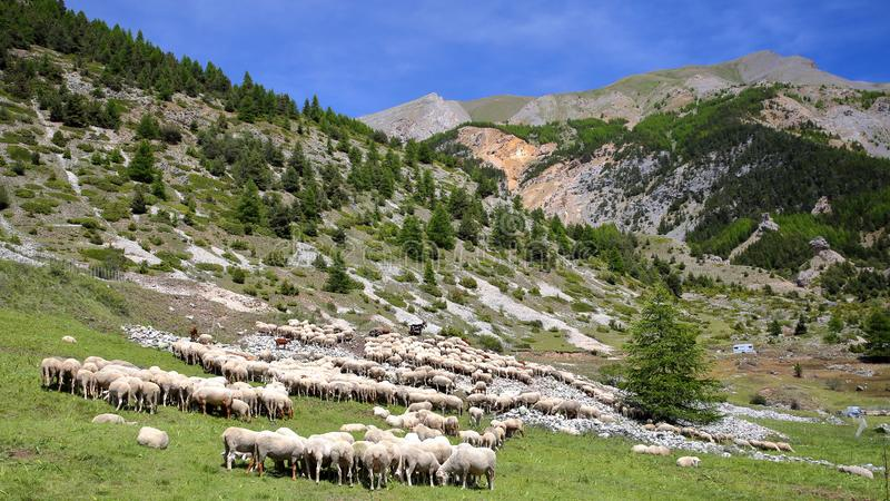 En flock av får som lokaliseras längs den Cristillan dalen ovanför den Ceillac byn, Queyras regionalt naturligt, parkerar royaltyfri fotografi