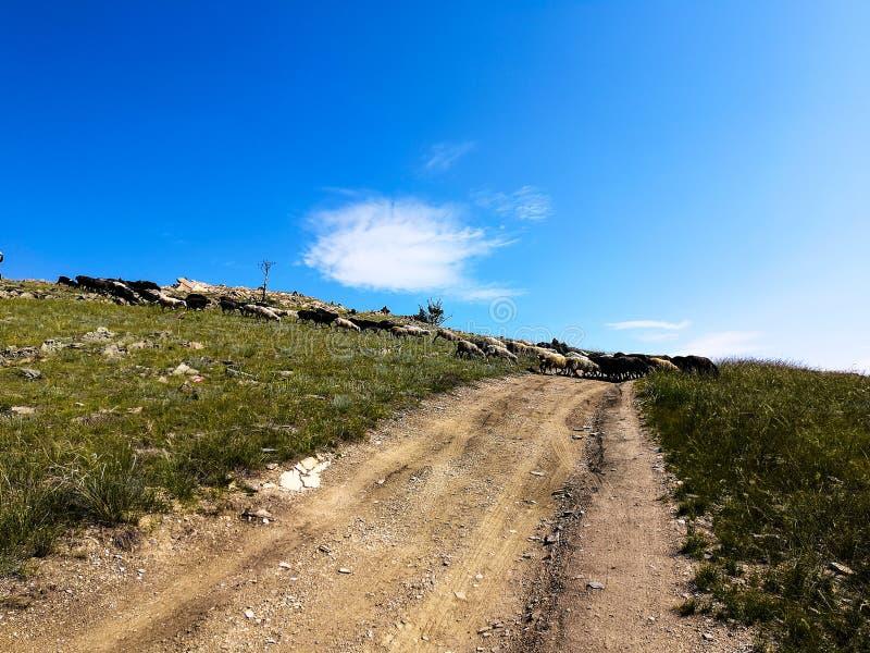 En flock av får som stötas ihop med vägen till stäppen royaltyfri foto