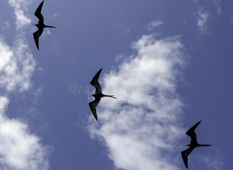 En flock av Galapagos fregatter royaltyfria bilder