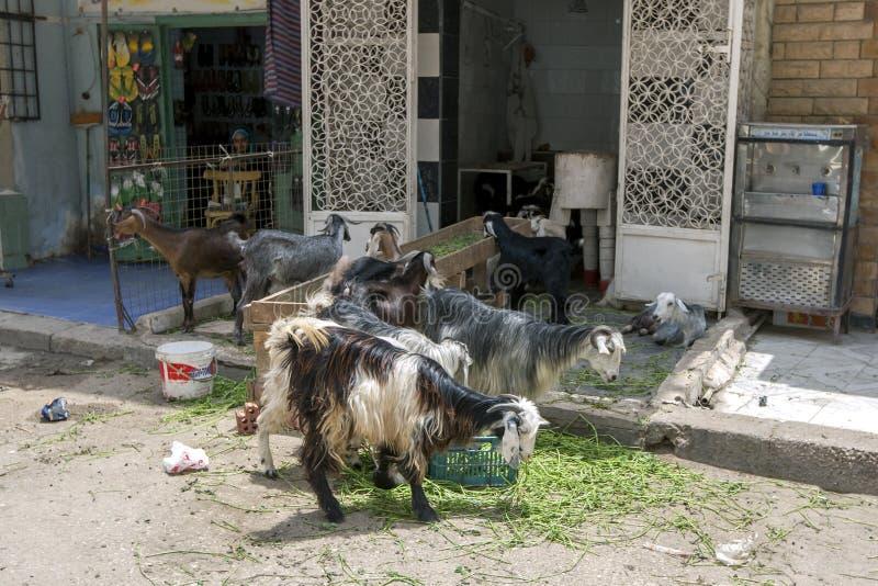 En flock av getter i Kairo royaltyfri bild