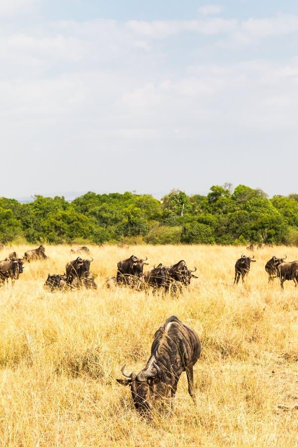 En flock av gnu mot en bakgrund av småskogen kenya mara masai royaltyfri foto