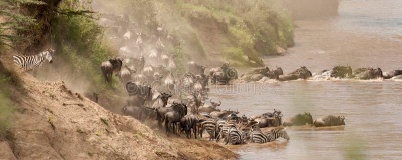 En flock av gnu och sebror springer för att korsa Nilet River under gnuflyttningen arkivbild