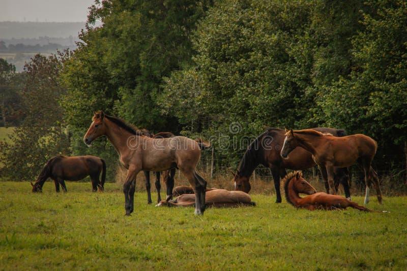 En flock av härliga spensliga bruna hästar med svarta svansskrubbsår på grönt gräs royaltyfri fotografi