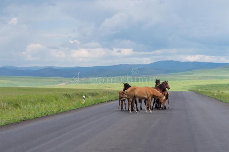 En flock av hästar står på en asfaltväg royaltyfri foto