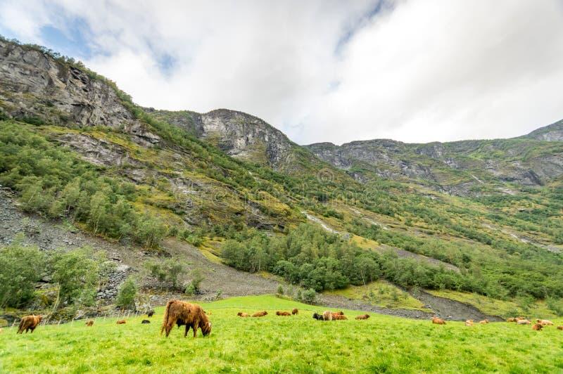 En flock av hårigt nötkreatur för lantgård som äter gräs med berget som bakgrund arkivfoton