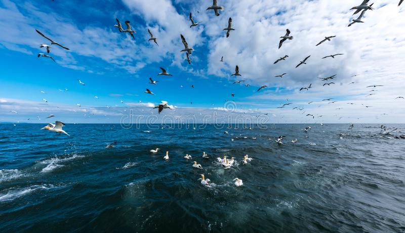 En flock av havssulor som flyger och dyker för fisk royaltyfri bild