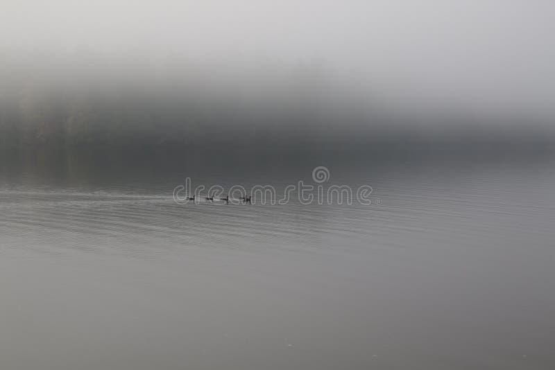 En flock av kanadensisk gäss som simmar i en lugna fjärd royaltyfri foto