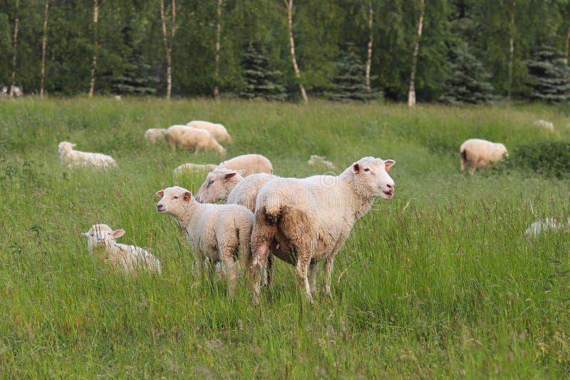 En flock av klara får färgar skrubbsår i en äng med ett högväxt grönt frodigt gräs Beta av en lantgård med konstruktion och träd  royaltyfri foto