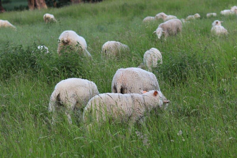 En flock av klara får färgar skrubbsår i en äng med ett högväxt grönt frodigt gräs Beta av en lantgård med konstruktion och träd  royaltyfria foton