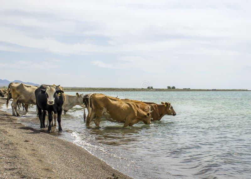 En flock av kor kom att dricka Torkan betar på En tjur skyddar kor på en brunnsort royaltyfria foton