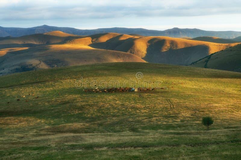 En flock av kor på bergängarna av Kaukasuset royaltyfri foto