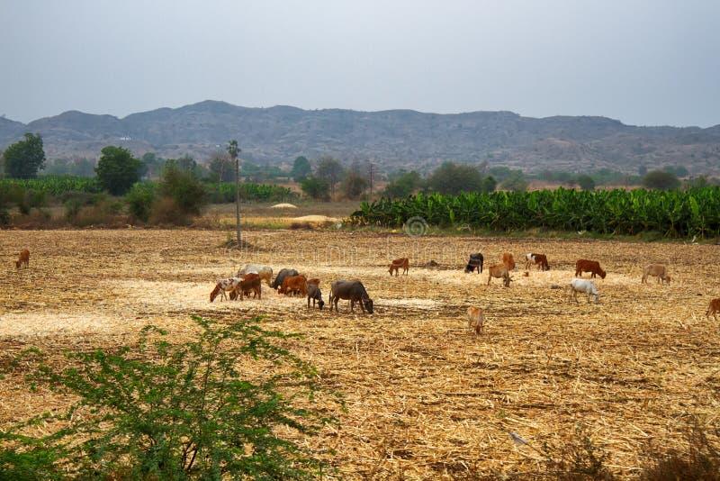 En flock av kor som betar i f?ltet royaltyfria bilder