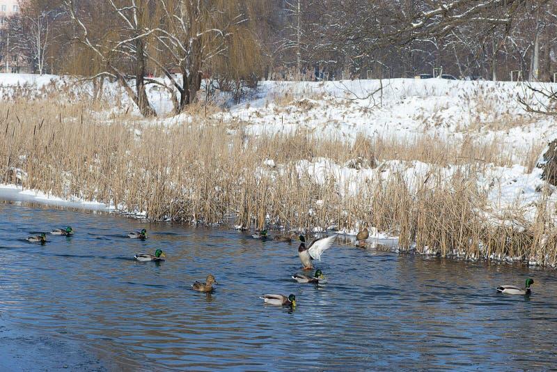 En flock av lösa änder på en vintersjö i staden royaltyfri fotografi