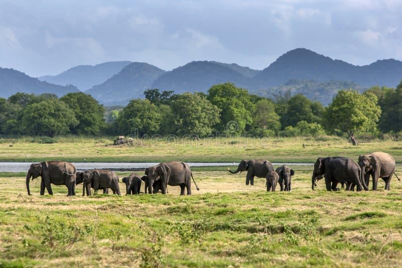 En flock av lösa elefanter på den Minneriya nationalparken royaltyfri bild