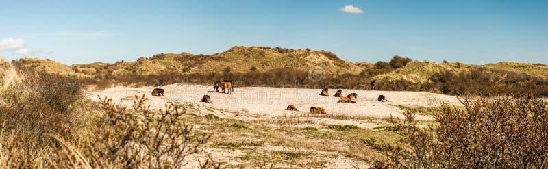 En flock av lösa Konik hästar i en dyndal som vilar i sanen royaltyfri bild
