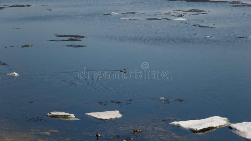 En flock av l?sa ?nder som simmar i floden efter vinter ?nder simmar i vinterisvatten arkivfoton