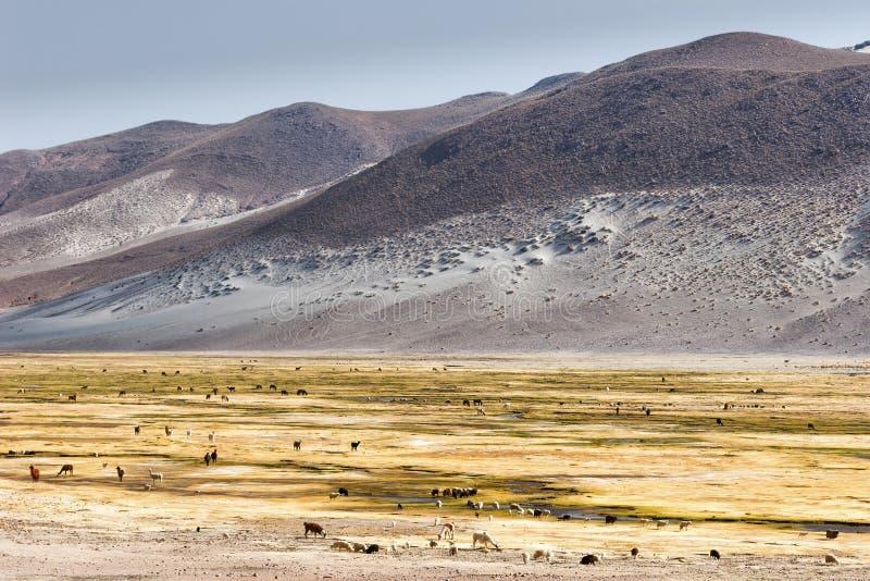 En flock av lamor som betar i de höga alpina områdena av den Bolivia platån, nära Uyuni den salta lägenheten royaltyfri foto