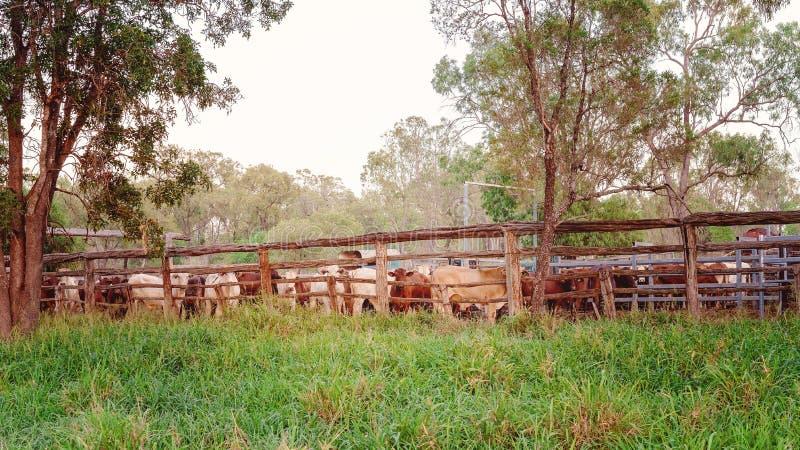 En flock av nötkreatur Corralled in i gårdar arkivfoto