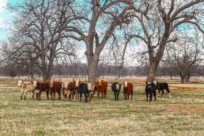 En flock av nötkreatur av olika färger ställde upp att stirra på kameran ut i ett fält med kala träd och ett damm i bakgrunden arkivfoton