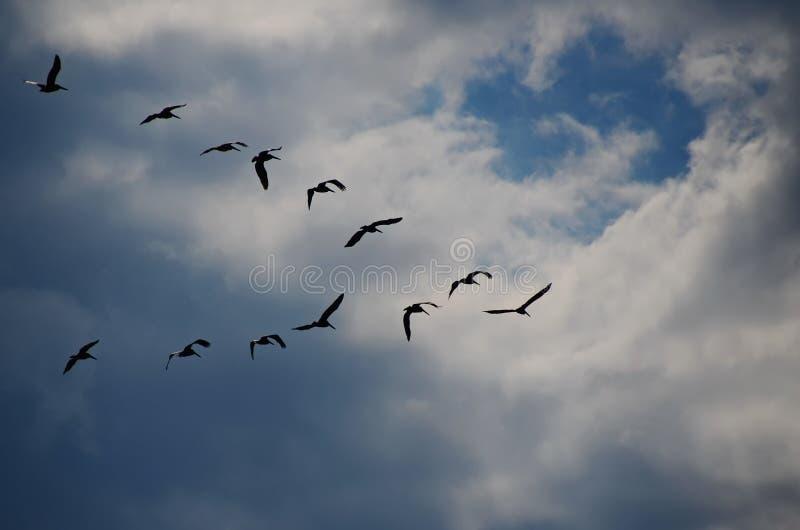 En flock av pelikan i v-bildande fotografering för bildbyråer