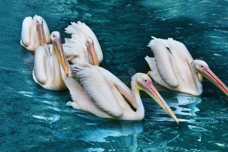 En flock av pelikan på vattenyttersidan arkivfoton