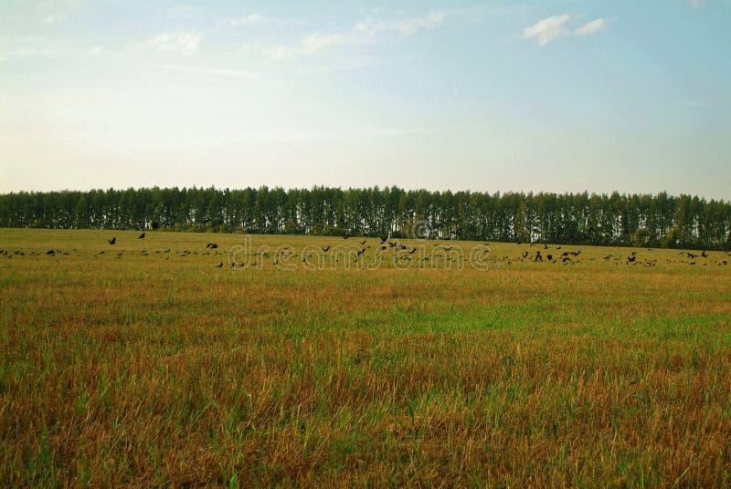 En flock av råka på ett slutta fält i höst fotografering för bildbyråer
