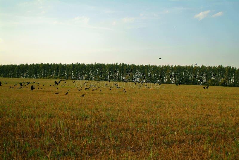 En flock av råka på ett slutta fält i höst royaltyfri foto