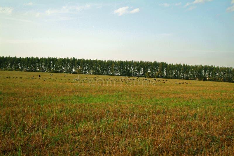 En flock av råka på ett slutta fält i höst arkivfoton