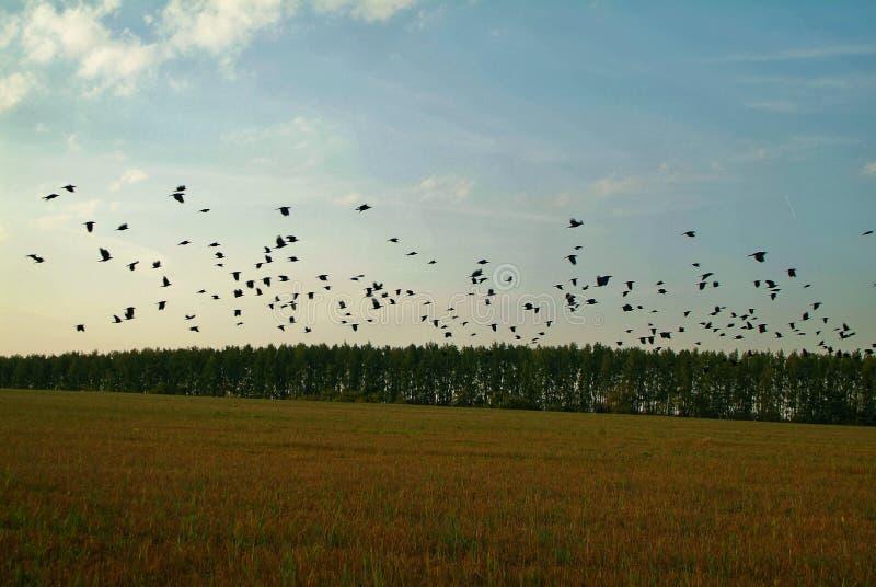 En flock av råka på ett slutta fält i höst royaltyfri bild