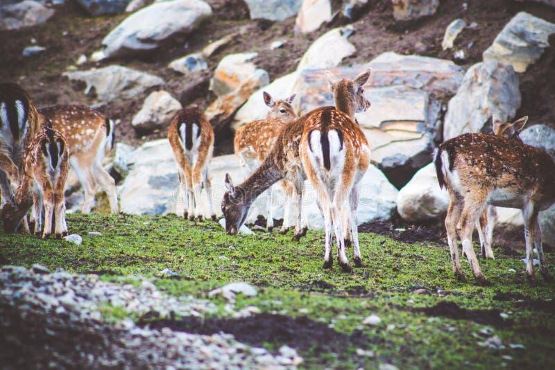 En flock av små och unga prickiga hjortar äter gräs betar på bland vaggar arkivfoton