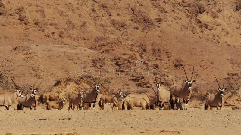 En flock av springbockantilop på ett bevattna hål i namibisk savann royaltyfria bilder