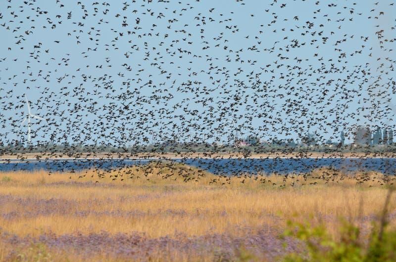 En flock av stare som flyger i himlen arkivfoto