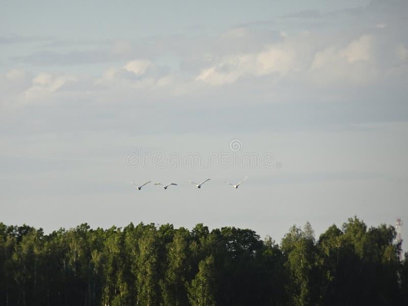 En flock av svanar flyger över sjön arkivfoton